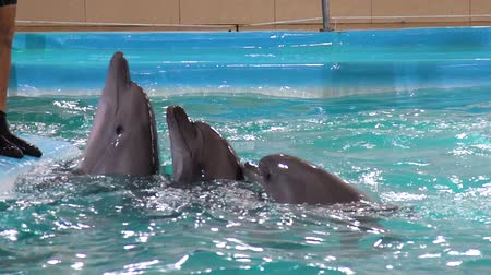 ser : grey dolphins look out of water near edge of pool to be petted by instructor Stock Footage