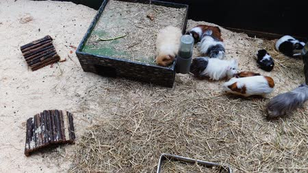 świnka morska : top down shot of guinea pigs of different color in terrarium