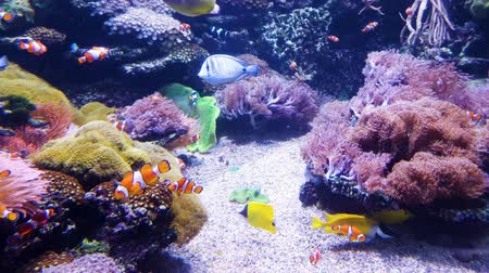 regal : clown fish and other exotic fish swim in aquarium with sea plants on background