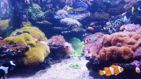 regal : aquarium with clown fish and other colorful fish with corals on background