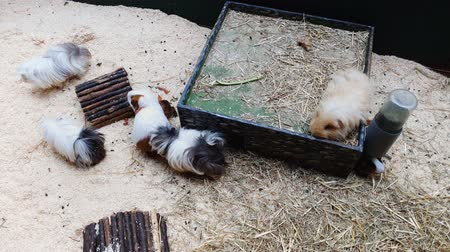 gine : top down closeup of group of guinea pigs of different breeds in terrarium Stok Video