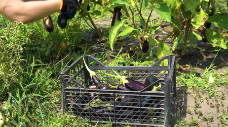 bakłażan : closeup of female hands in gloves putting harvested eggplants into plastic box Wideo