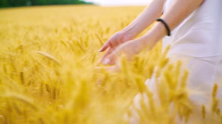 mindset : closeup of young woman hands touching ripe wheat walking on field in summer