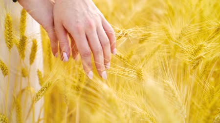 positive vibes : closeup of manicured female hands touching ripe wheat in field with free space Stock Footage