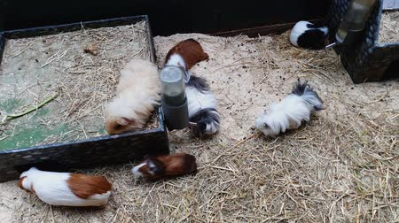 prase : guinea pigs of different breeds and colors on sawdust layer in terrarium Dostupné videozáznamy