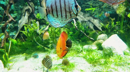 inhabitant : exotic fish with bright coloring in aquarium with seaweeds on background