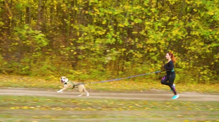 mushing : Canicrossing with Amstaff on pathway near autumn forest Stock Footage