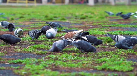 feeding ground : Flock of pigeons pecking ground in park