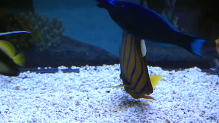barriers : Blue ring angelfish of the family Pomacanthidae. Beautifully decorated Marine Aquarium.