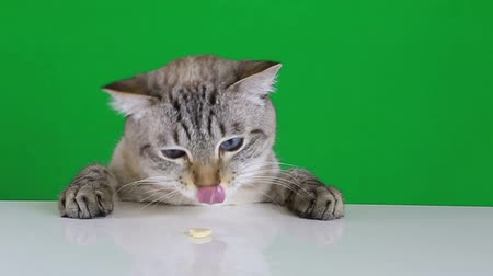 prapor : Funny cat sitting at the table and licks treat on green screen background. Slow motion. Dostupné videozáznamy