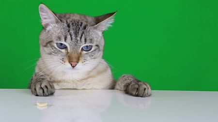 blank : Funny cat sitting at the table and licks treat on green screen background. Slow motion. Stock Footage