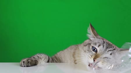 pleading : Funny cat sitting at the table and chewing plastic bag on green screen background