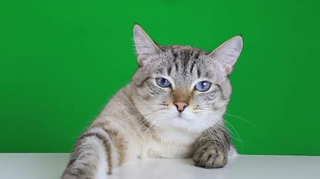 tabby cat : Sad cat sitting at the table on a green screen background Stock Footage
