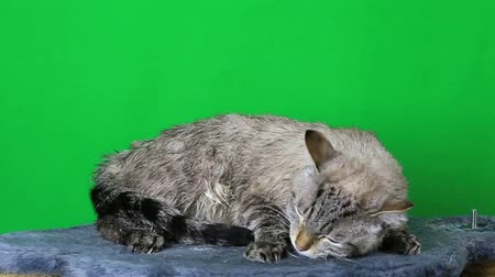 pleading : Wet cat lies and freezing. Stock Footage