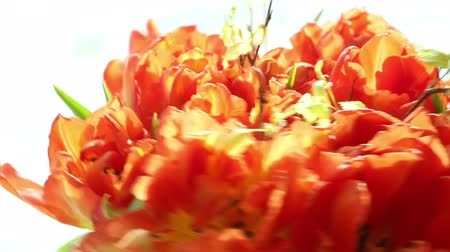 vibrující : Beautiful bouquet of orange tulips quickly rotating.