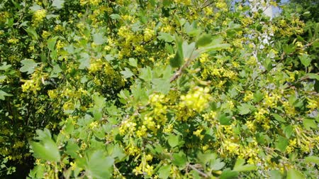 İngilizler : Golden currant bush with yellow flowers.