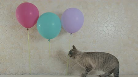 purebred cat : Funny naughty cat gnaws rope from the balloon. Stock Footage