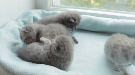 humor : Funny Blotched tabby kittens breed Scottish Fold.
