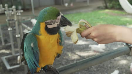 ara : Colorful Red-blue-green Scarlet Macaw parrot (lat. Ara) eats a banana stock footage video Stock Footage