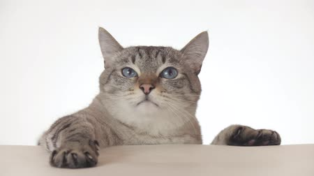 blueeyes : Beautiful Thai cat looking around close-up on a white background stock footage video