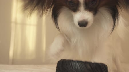 changer : Young dog breeds Papillon Continental Toy Spaniel gnaws a rubber tire - a fun tire changer stock footage video