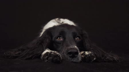 mestiços : Beautiful female spaniel lies and is funny looks around on a black background stock footage video