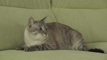 blueeyes : Cat Thai breed lies on the couch and looks around stock footage video