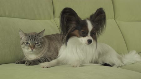 animalthemes : Dog Papillon looks with fear on the cat Thai tense relationship stock footage video