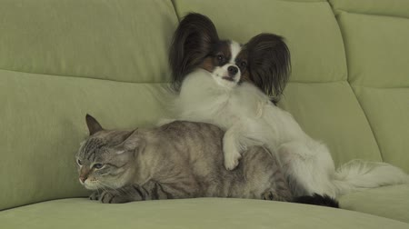 purebred cat : Dog Papillon lies on the cat stock footage video Stock Footage