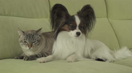 animalthemes : Dog Papillon lies next to the cat Thai stock footage video Stock Footage