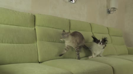 animalthemes : Dog Papillon runs after the cat Thai slow motion stock footage video