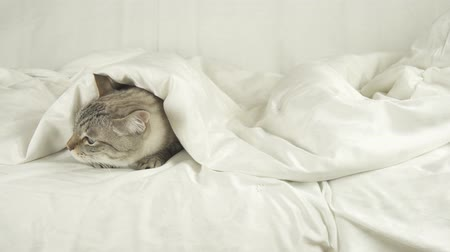 blueeyes : Thai cat lays under a blanket, a dog jumps on a bed and drives a cat stock footage video