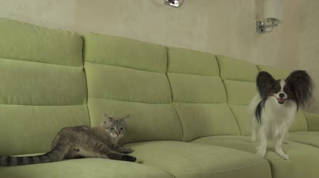 animalthemes : Dog Papillon mischievously looks at the cat Thai stock footage video Stock Footage