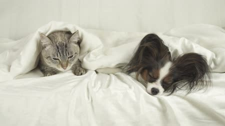 lying cat : Cat and dog lie under the blanket on the bed stock footage video