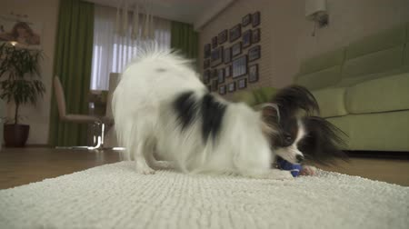 spanyel : Dog Papillon playing with a ball on a rug in the living room stock footage video Stok Video
