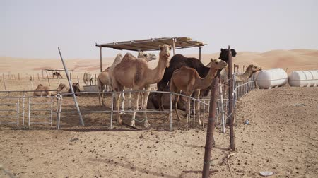 dromedaris : Camels in a fence on a farm in the desert of Liwa United Arab Emirates stock footage video