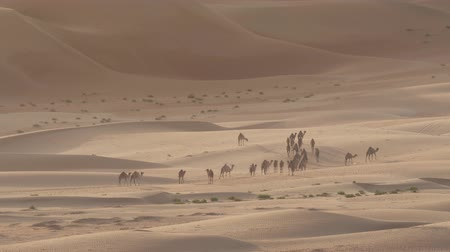 dromedaris : Camels go to the pasture early in morning against background of sand dunes in Rub al Khali desert stock footage video