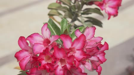 alstroemeria : Beautiful plant with a red flowers stock footage video