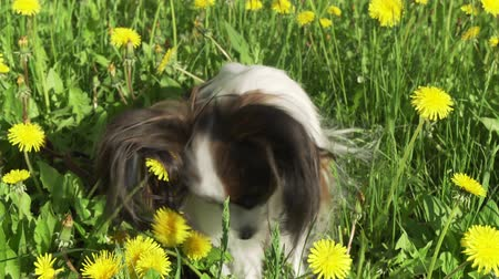 spanyel : Beautiful dog Papillon sitting on a green lawn with dandelions and eating grass stock footage video Stok Video