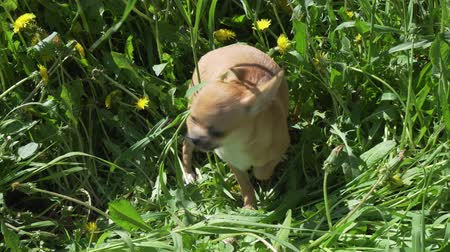 whitebackground : Beautiful amusing chihuahua puppy playing on a green lawn stock footage video Stock Footage