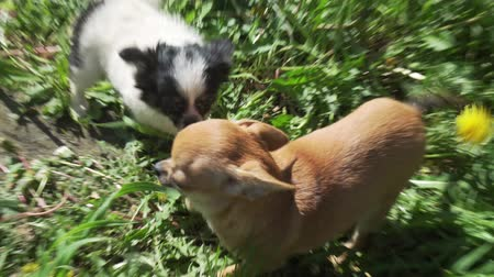 pom : Beautiful amusing chihuahua puppy playing on a green lawn stock footage video Stock Footage