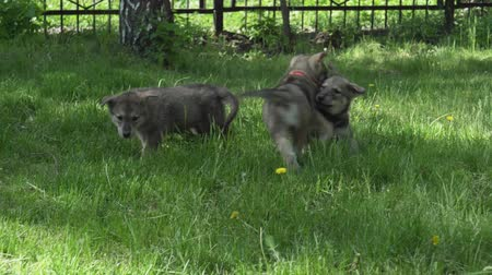 бдительный : Beautiful amusing puppies of Saarloos wolfhound playing on a green lawn in the park stock footage video