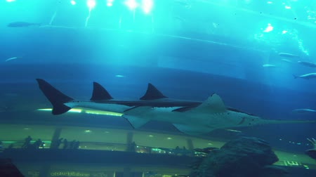 school of shark : Dubai, UAE - April 09, 2018: People admire the marine life in the glass tunnel of the Aquarium in Dubai Mall stock footage video