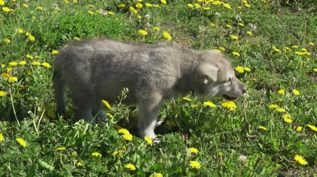 saarloos : Beautiful amusing puppies of Saarloos wolfhound playing on a green lawn in the park stock footage video
