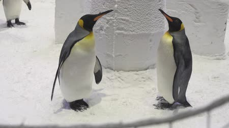 pinguim : Funny royal penguins communicate in the snow stock footage video