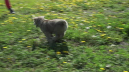 vigilant : Beautiful amusing puppies of Saarloos wolfhound playing on a green lawn in the park stock footage video