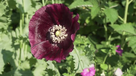legion : Papaver dubium grows in the garden stock footage video