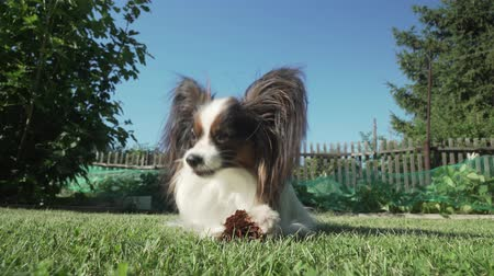 континентальный : Beautiful dog breed Papillon gnaws spruce cone on the lawn stock footage video