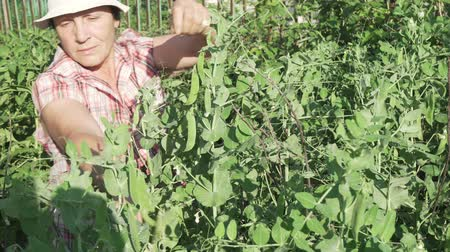 peas : An elderly woman gathers a crop in the garden, rips off the ripe peas pods stock footage video Stock Footage
