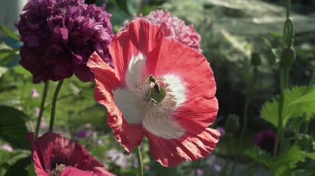 legion : Bee collects the nectar on the garden poppy stock footage video Stock Footage